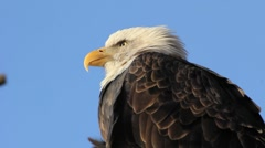 Bald Eagle Close-Up Stock Footage