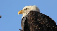 Stock Video Footage of Bald Eagle Close-Up