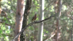 Chaffinch (Fringilla coelebs) male singing in the spring pine-broadleaved forest Stock Footage