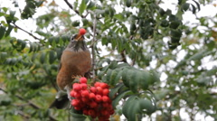 Robin eats berries. Stock Footage