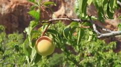 Peach in tree Stock Footage