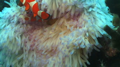 Clown Fish in white Anemone, Nemo Stock Footage