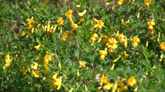 Blossoming branches of the broom (Chamaecytisus ruthenicus) shrubs swaying in th Stock Footage