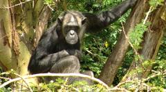 Chimpanzee tree P1 Stock Footage