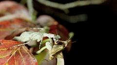 Grizzled mantis (Gonatista grisea) Stock Footage