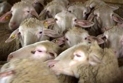 Sheep Breeding Farm Stock Footage