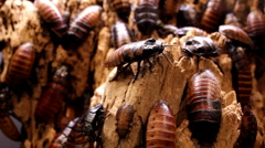 Large group of Hissing Beetles - stock footage