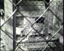 Leopard in a cage Stock Footage