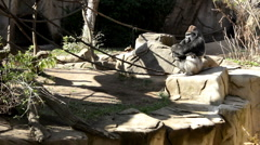Gorilla with arms folded together thinking Stock Footage