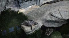 Turtle sitting on rock with alligator underneath Stock Footage