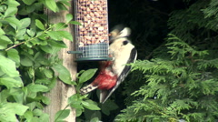 Great Spotted Woodpecker on a nut feeder. Stock Footage