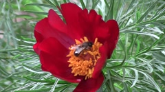 Fern leaf peony (Paeonia tenuifolia) flower trembling in the wind with a bee - stock footage