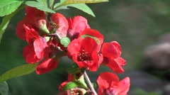 Japanese quince (Chaenomeles speciosa) flowers swaying in the wind in the spring Stock Footage