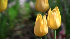 Hybrid cultivar tulip (Tulipa sp.) flowers with a hoverfly swaying in the wind i Stock Footage