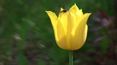 Hybrid cultivar tulip (Tulipa sp.) flower with a hoverfly swaying in the wind in Stock Footage