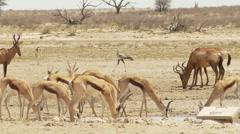 Wild animals drinking together in Kalahari Stock Footage