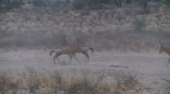 Red hartebeest mock fighting in Kalahari Stock Footage