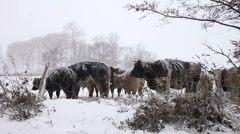 Cows in Snow 1 Stock Footage