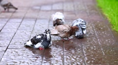 pigeons after the rain - stock footage