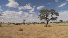 Pan to Kalahari camel thorn tree - stock footage