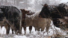 Cows in Snow  Stock Footage