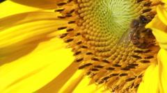 Bee pollenating organic sunflower Stock Footage