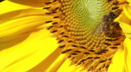 Stock Video Footage of Bee pollenating organic sunflower