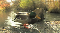 Mallard Ducks Walking Around Stock Footage