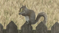 Squirrel on fence eats ear of wheat. Stock Footage