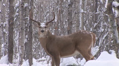 Whitetail Deer Buck Stock Footage