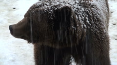 The brown bear walking in snow at forest winter - stock footage
