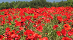 red field of flowers 02 - stock footage