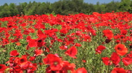 Stock Video Footage of red field of flowers 02