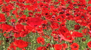 Stock Video Footage of red field of flowers 03