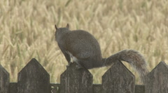 Squirrel on fence senses danger and freezes. Stock Footage