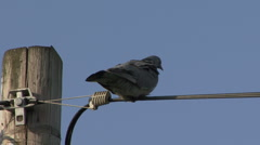 Wood Pigeon perches on a telephone cable. Stock Footage