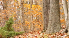 autumn and small pine tree - stock footage