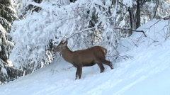 Deer running in the mountains Stock Footage