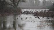Waterfowl ducks Stock Footage