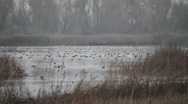 Waterfowl ,ducks Stock Footage