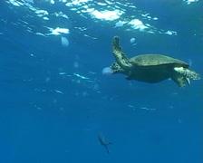 Turtle underwater diving video Stock Footage