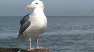 Stock Video Footage of Gull at the pier San Francisco