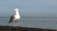 Gull at the pier San Francisco Stock Footage