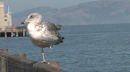 Stock Video Footage of Gull at the pier in San Francisco