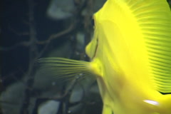 Yellow Tang Stock Footage