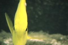 Yellow Tang Saltwater Fish Stock Footage