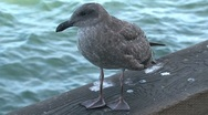 Stock Video Footage of Young Gull San Francisco