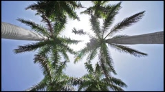 Row of Royal Palm Trees Stock Footage