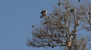 Stock Video Footage of falcon bird in tree, California, United States