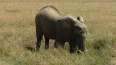 Elephants savana P11 Stock Footage